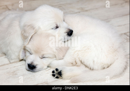 Platinum colored Golden Retriever puppies (6 weeks) - Stock Photo