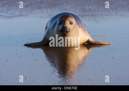Seal gray (Halichoerus grypus) Donna Nook National Nature Reserve, Lincolnshile, England, U.K., Europe - Stock Photo