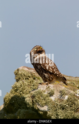 Little Owl (Athene noctua) perched on a wall, looking skywards - Stock Photo