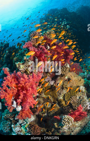 Lyretail anthias or Goldies (Pseudanthias squamipinnis) over coral reef with soft corals (Dendronephthya sp). Egypt, - Stock Photo