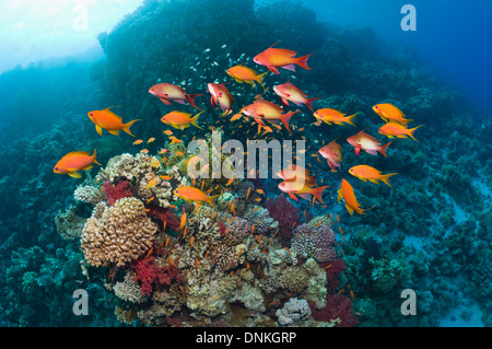 Lyretail anthias or Goldies (Pseudanthias squamipinnis) over coral reef with soft corals. Egypt, Red Sea. - Stock Photo