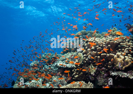 Lyretail anthias or Goldies (Pseudanthias squamipinnis) on reef top. Egypt, Red Sea. - Stock Photo