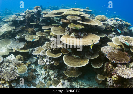 Table coral (Acropora sp.) formations on shallow reef top. Maldives. - Stock Photo