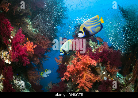 Coral reef scenery with Emperor angelfish - Stock Photo