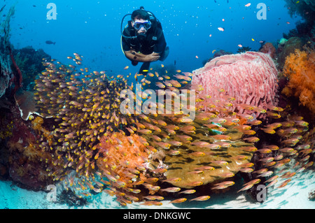 Male scuba diver watching a school of Pygmy sweepers (Parapriacanthus ransonetti) on coral reef. - Stock Photo