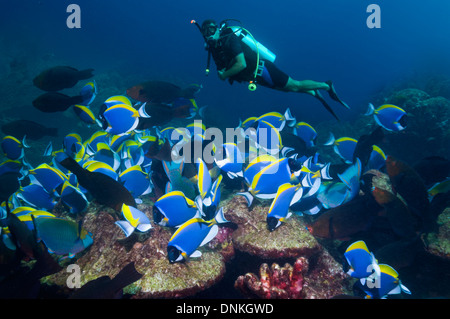 A school of Powder-blue surgeonfish (Acanthurus leucosternon) grazing on coral rock with a male scuba diver in background - Stock Photo