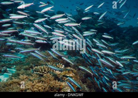 Bluestreak fusilier (Pterocaesio tile) school over coral reef. Maldives. - Stock Photo
