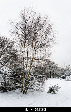 Silver Birch (Betula pendula) in winter with snow. Epping Forest, London, UK. - Stock Photo
