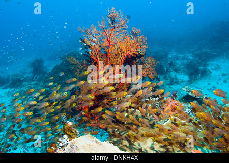 Pygmy sweepers (Parapriacanthus ransonetti) with gorgonian.  Komodo National Park, Indonesia. - Stock Photo