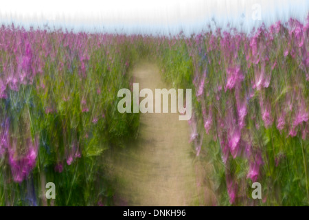 Blurred shot of red campion and bluebells, unusually flowering at same time, on Skomer Island, Pembrokeshire. - Stock Photo