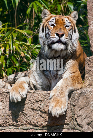 Aysha, Bengal Tiger (panther tigris tigris), Isle of Wight Zoo, Sandown, Isle of Wight, Hampshire, England - Stock Photo