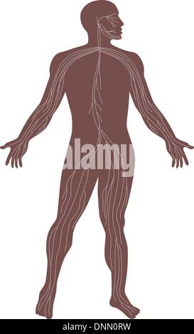 Illustration of the human anatomy showing the nervous system of a male standing. - Stock Photo