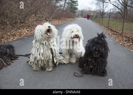The Puli is a small-medium breed of Hungarian herding and livestock guarding dog known for its long, corded coat. - Stock Photo
