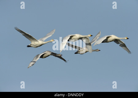 Bewick's Swan Cygnus columbianus - Stock Photo