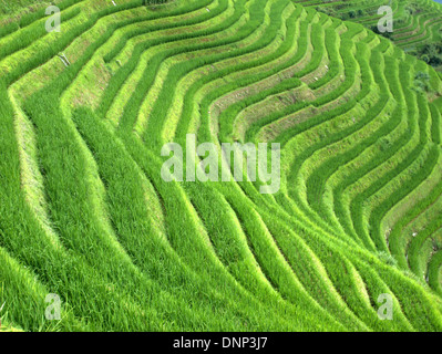 The Longsheng Rice Terraces (Lóngshèng Tītián) or Dragon's Backbone Rice Terraces, located in Longsheng County, - Stock Photo