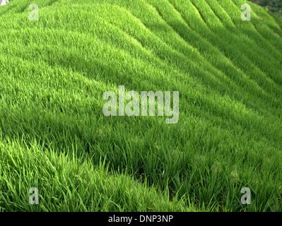 The Longsheng Rice Terraces (Lóngshèng Tītián) or Dragon's Backbone Rice Terraces, located in Longsheng County, - Stock Photo