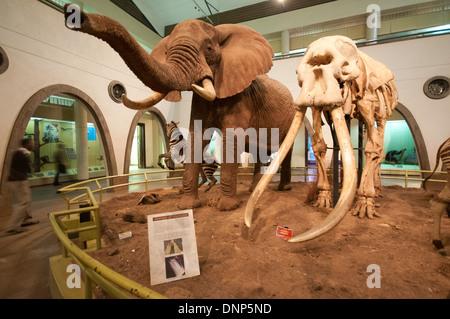 Inside Great Hall of Mammals Nairobi National Museum Kenya showing Elephant and Zebra with skeleton of famous elephant - Stock Photo