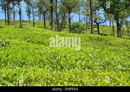 Tea plant or tea shrub, - Stock Photo
