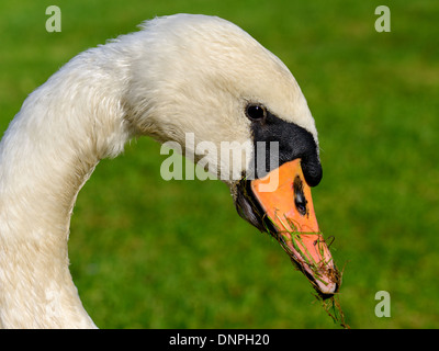 Mute swan, Cygnus olor, portrait - Stock Photo