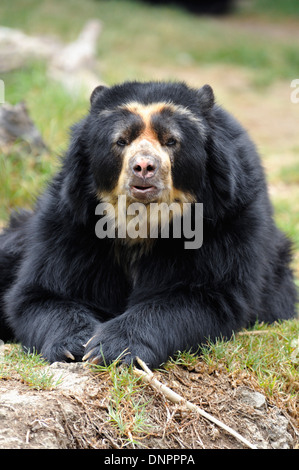 Andean spectacled bear (Tremarctos ornatus) in the Quito zoo, Ecuador - Stock Photo