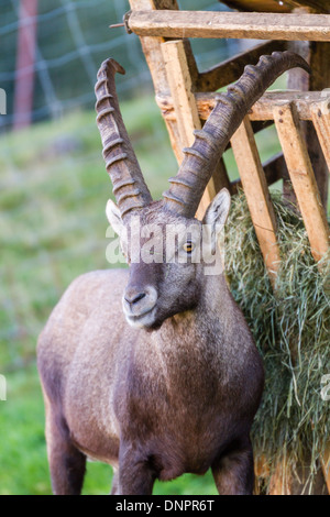 Young Alpine Ibex (Capra ibex) buck standing by winter feeding ground - Stock Photo