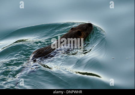 A coypu swimming in a stream in Plano, Texas, USA - Stock Photo