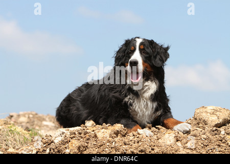 Dog Bernese Mountain Dog   adult lying on the ground - Stock Photo