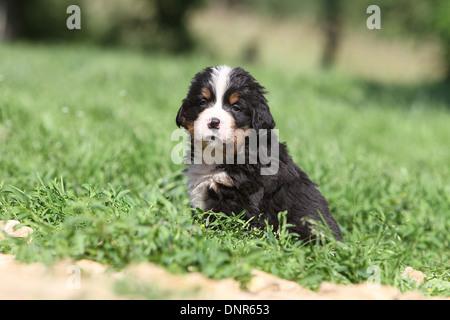 Dog Bernese Mountain Dog   puppy sitting in a garden - Stock Photo