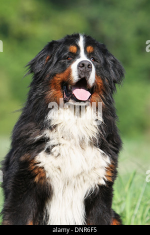 Dog Bernese Mountain Dog   adult portrait - Stock Photo