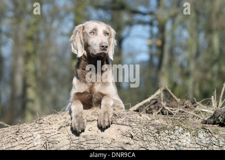 dog Weimaraner longhair /  adult lying on a tree trunk - Stock Photo