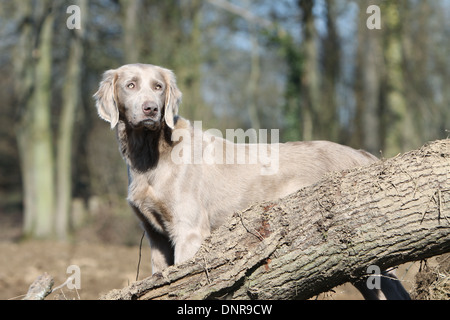 dog Weimaraner longhair /  adult standing in a forest