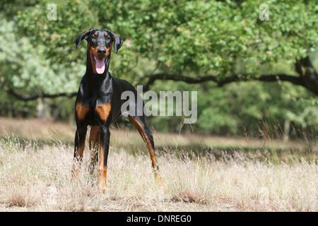 Dog Dobermann / Doberman Pinscher (natural ears)  /  adult standing in a meadow - Stock Photo