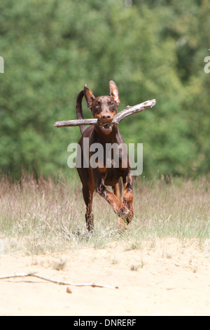 Dog Dobermann / Doberman Pinscher (natural ears) / adult running with a stick in its mouth - Stock Photo