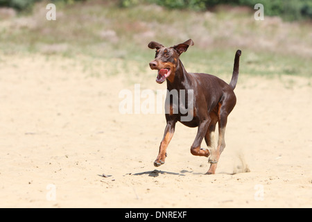 Dog Dobermann / Doberman Pinscher (natural ears) /  adult running on the sand - Stock Photo