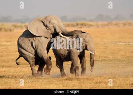 African elephants (Loxodonta africana) mating, Amboseli National Park, Kenya - Stock Photo