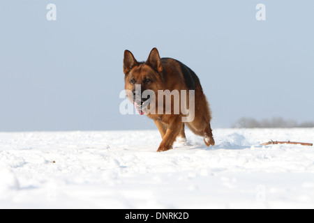 Dog German Shepherd Dog / Deutscher Schäferhund  adult running in the snow - Stock Photo