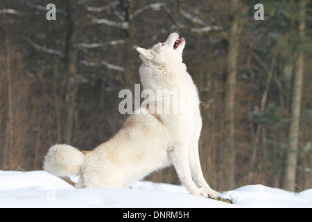 Dog Siberian Husky adult howling wolves on snow - Stock Photo