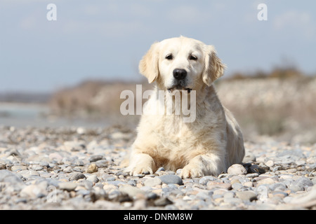 Dog Golden Retriever  /  adult lying on rocks - Stock Photo