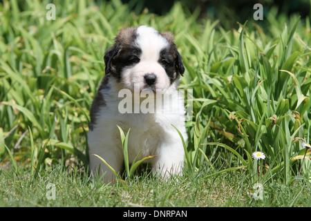 dog Saint Bernard longhaired  puppy sitting in a garden - Stock Photo