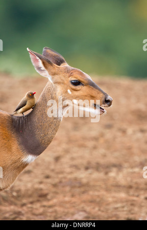 Bushbuck and red-billed oxpecker in Aberdares National Park, Kenya - Stock Photo
