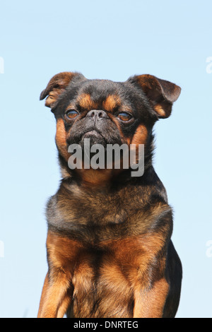 dog petit Brabancon / small Brabant Griffon/ Belgian adult portrait - Stock Photo