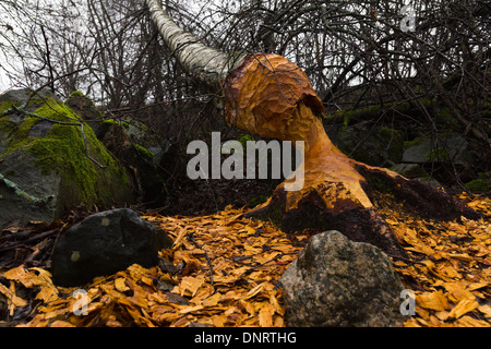 Tree damage caused by a beaver - Stock Photo