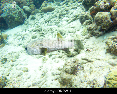 A Porcupine fish swims through the tropical waters off the coast of Bonaire. - Stock Photo