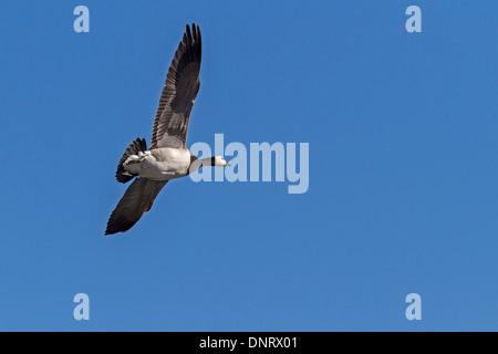 Flying barnacle goose / Branta leucopsis - Stock Photo