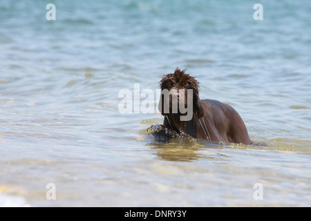 Dog Newfoundland /  puppy swimming in the sea - Stock Photo