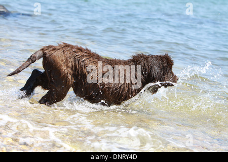 Dog Newfoundland /  puppy goes into the water - Stock Photo