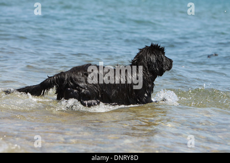 Dog Newfoundland /  puppy enters the water - Stock Photo