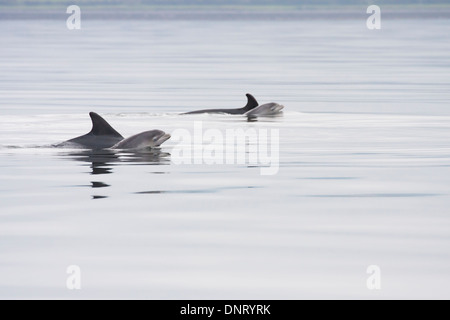 Bottlenose dolphins (Tursiops truncatus), two mothers and newborn calves, Chanonry Point, Moray Firth, Scotland, - Stock Photo