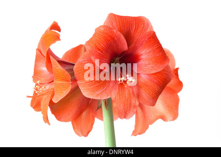 Coral red amaryllis flower isolated on a white studio background. - Stock Photo