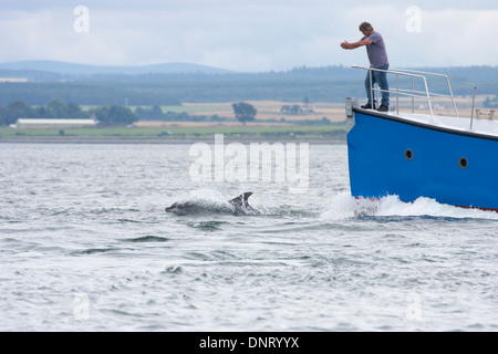 Bottlenose dolphin bowriding (Tursiops truncatus), Chanonry Point, Moray Firth, Scotland, UK - Stock Photo